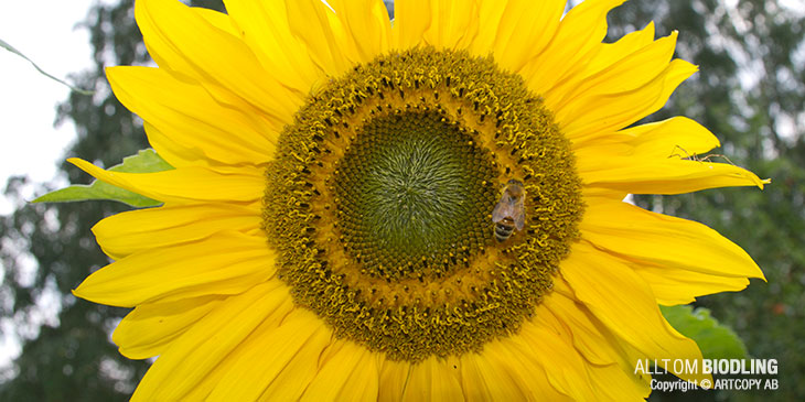 Imidakloprid – skadligt gift för våra bin