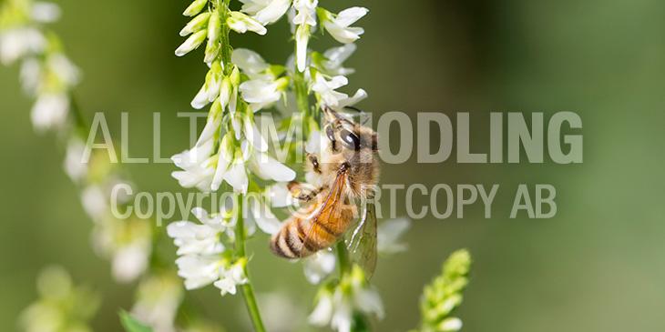 BIväxter - Vit sötväppling (Melilotus albus)