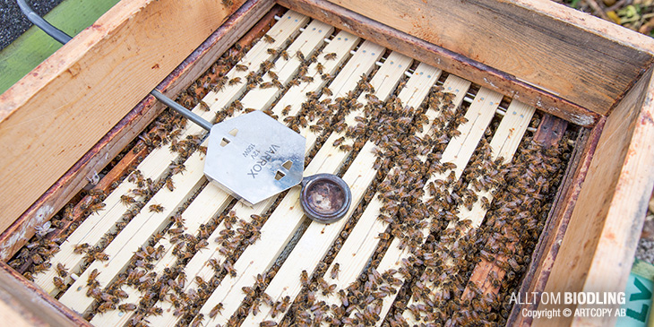 Biodling - Varroabehandling på hösten