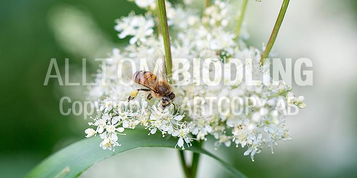 Biväxter - Älggräs (Filipendula ulmaria)
