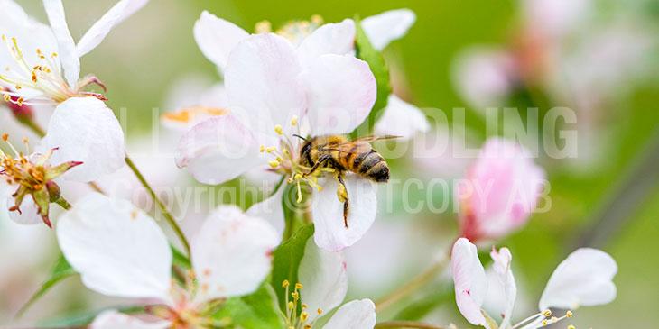 Biväxter - Äpple (Malus domestica)