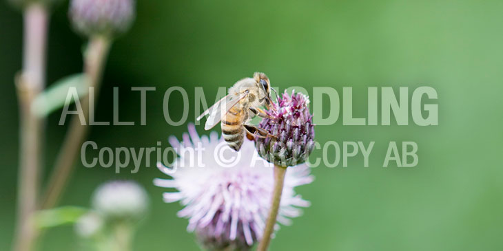 Biväxter - Åkertistel (Cirsium arvense)