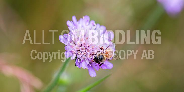 Biväxter - Åkervädd (Knautia arvensis)