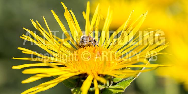Biväxter - Ålandsrot (Inula helenium)