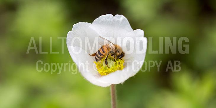 Biväxter - Alpsippa (Anemone alpina)