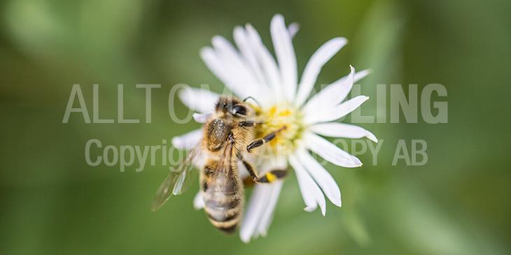 Biväxter - Aster (Aster spp.)