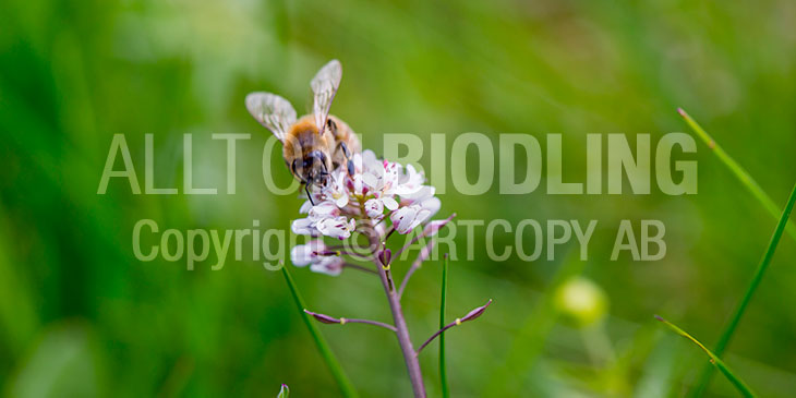 Biväxter - Backskärvfrö (Thlaspi caerulescens)