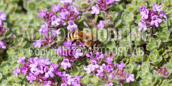 Biväxter - Backtimjan (Thymus serpyllum)