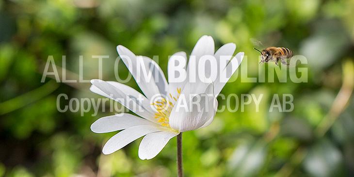 Biväxter - Balkansippa (Anemone blanda)