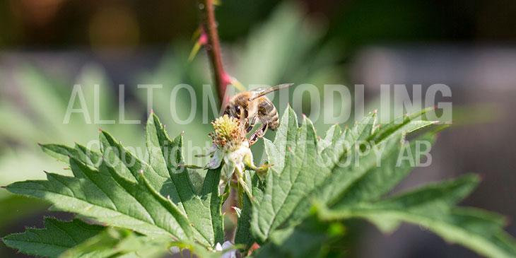 Biväxter - Björnbär (Rubus subg. Rubus)