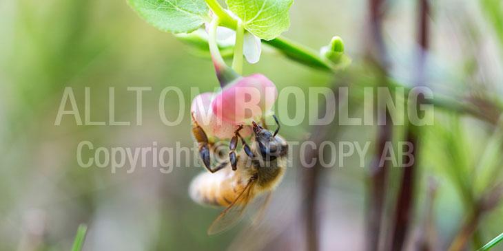 Biväxter - Blåbär (Vaccinium myrtillus)