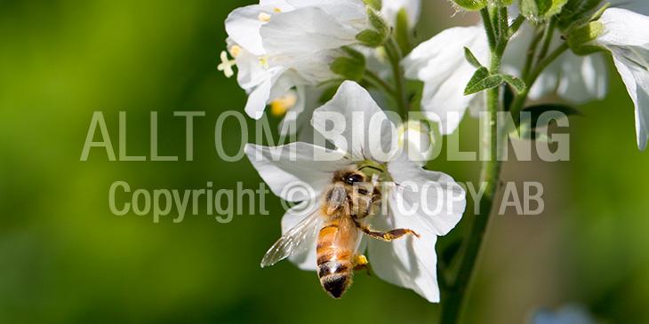 Biväxter - Blågull (Polemonium caeruleum)