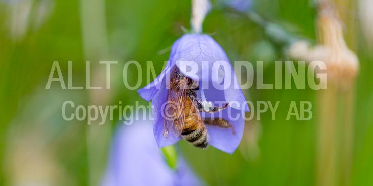 Biväxter - Blåklocka (Campanula spp.)