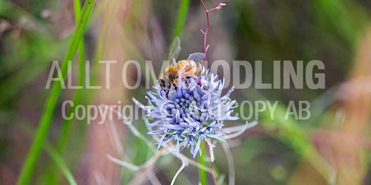Biväxter - Blåmunkar / monke (Jasione montana)