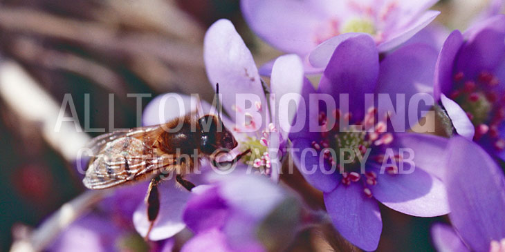 Biväxter - Blåsippa (Anemone hepatica syn. Hepatica nobilis)