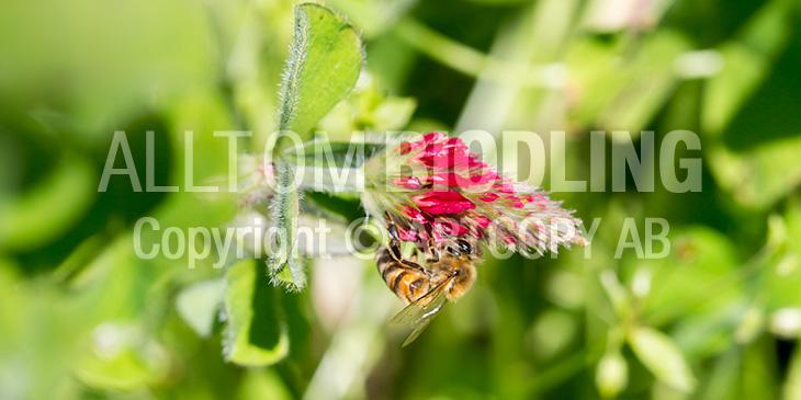 Biväxter - Blodklöver (Trifolium incarnatum)