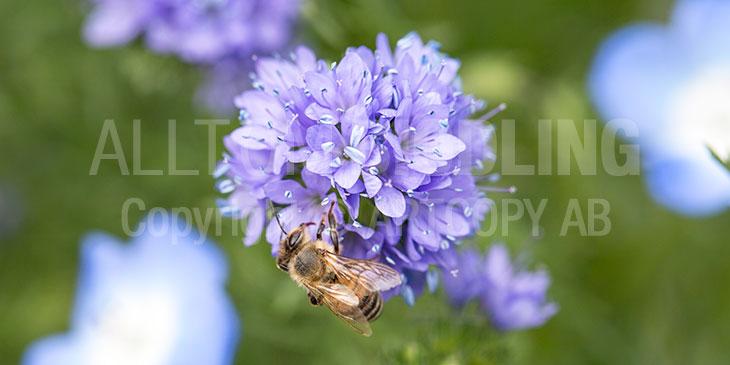 Biväxter - Bollgilia (Gilia capitata)