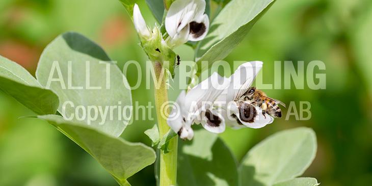 Biväxter - Bondböna (Vicia faba)