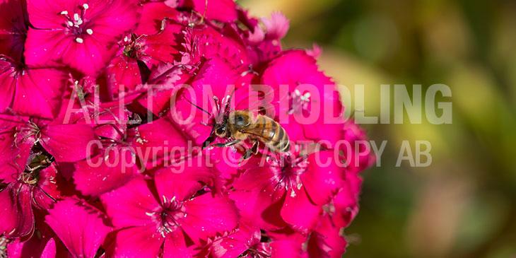 Biväxter - Borstnejlika (Dianthus barbatus)