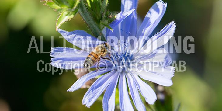 Biväxter - Cikoria (Cichorium intybus)