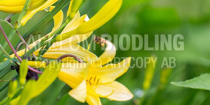 Biväxter - Liljesläktet (Lilium spp.)