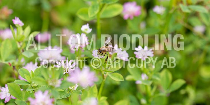 Biväxter - Doftklöver / Perserklöver (Trifolium resupinatum)