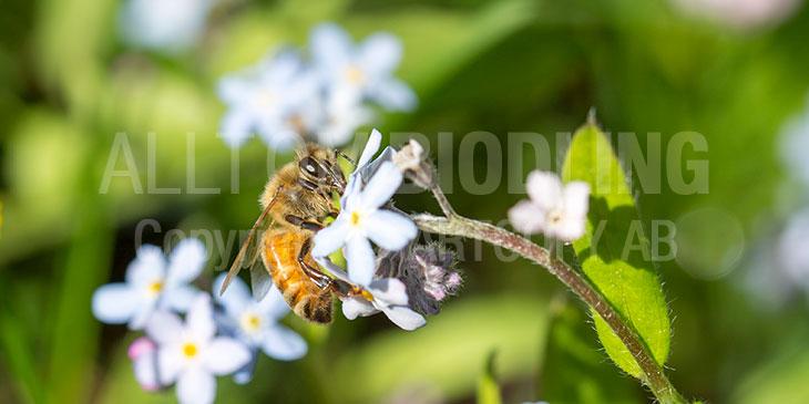 Biväxter - Förgätmigej (Myosotis spp.)