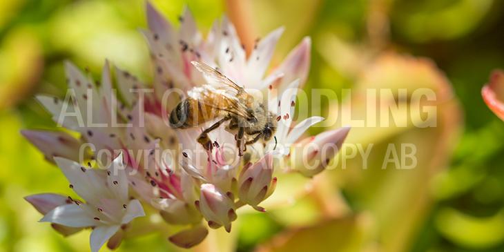Biväxter - Fetknopp (Sedum)