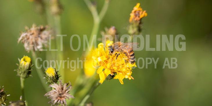Biväxter - Höstfibbla (Leontodon autumnalis)