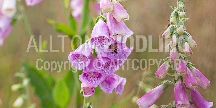 Biväxter - Fingerborgsblomma (Digitalis purpurea)