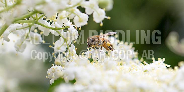 Biväxter - Fläder (Sambucus nigra)