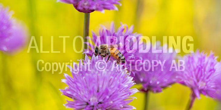 Biväxter - Gräslök (Allium schoenoprasum)