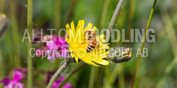 Biväxter - Gråfibbla (Pilosella officinarum)