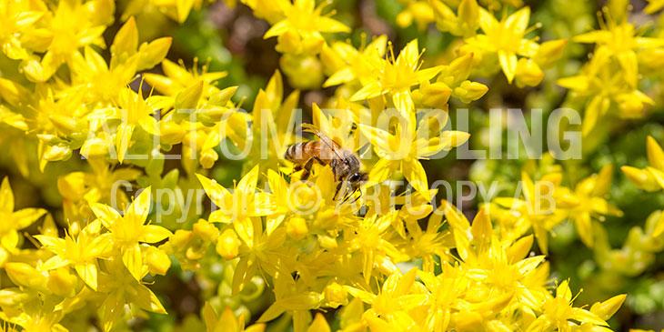 Biväxter - Gul fetknopp (Serum acre)