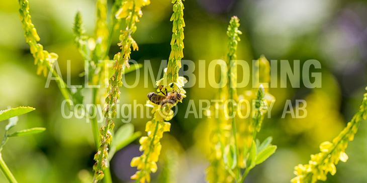 Biväxter - Gul sötväppling (Melilotus officinalis)