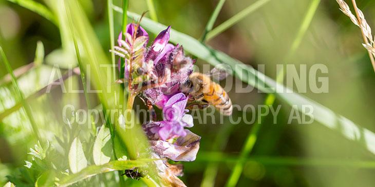 Biväxter - Häckvicker (Vicia sepium)
