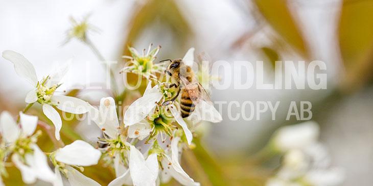 Biväxter - Häggmispel (Amelanchier spicata)