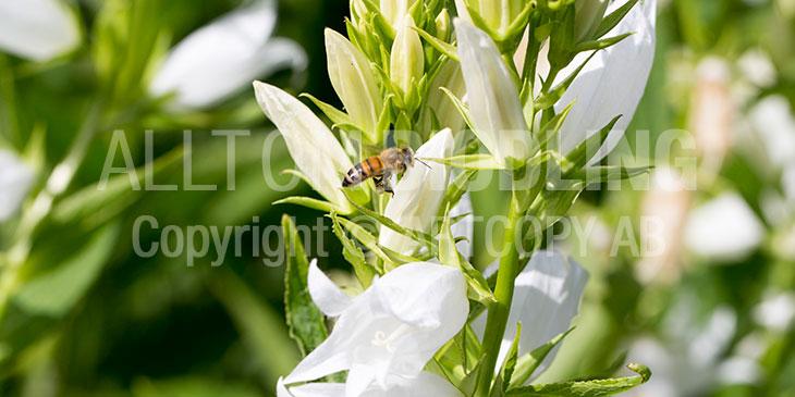 Biväxter - Hässleklocka (Campanula latifolia)