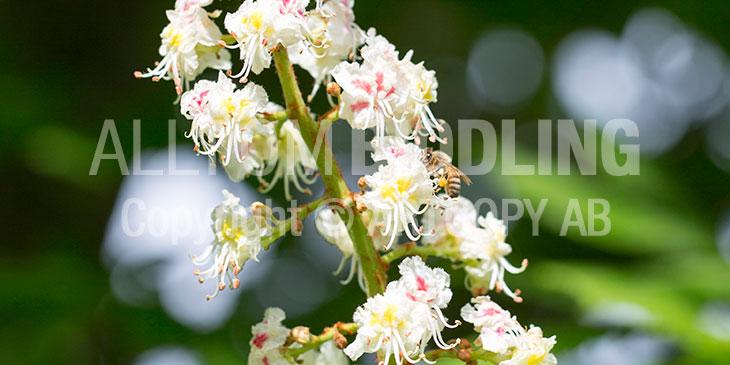 Biväxter - Hästkastanj (Aesculus hippocastanum)