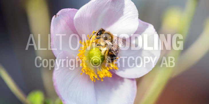 Biväxter - Höstanemon (Anemone hupehensis)