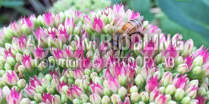 Biväxter - Kärleksörter (Hylotelephium)