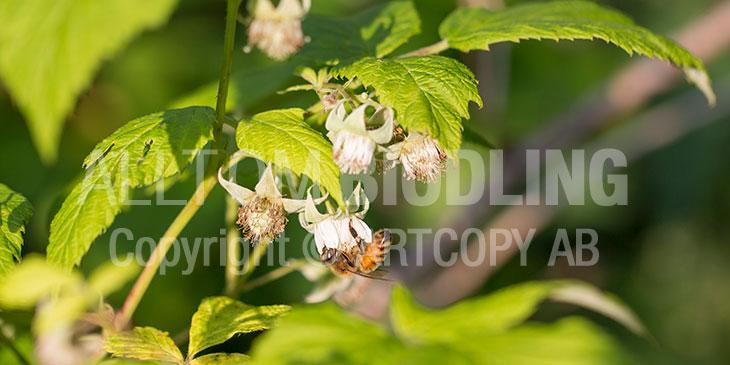 Biväxter - Hallon (Rubus idaeus)