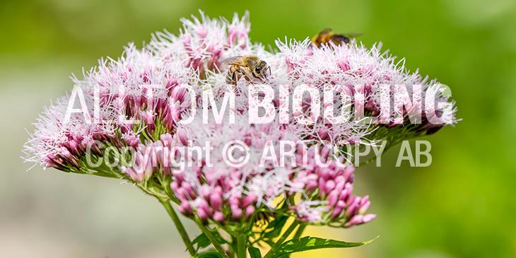 Biväxter - Hampflockel (Eupatorium cannabinum)