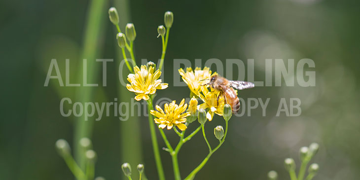 Biväxter - Harkål (Lapsana communis)