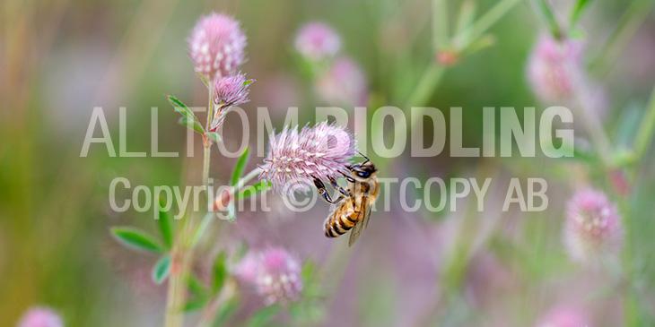 Biväxter - Harklöver (Trifolium arvense)