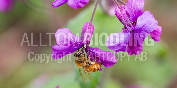 Biväxter - Hesperis / Trädgårdsnattviol (Hesperis matronalis)