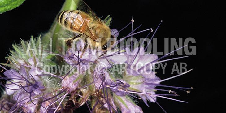 Biväxter - Honungsfacelia (Phacelia tanacetifolia)