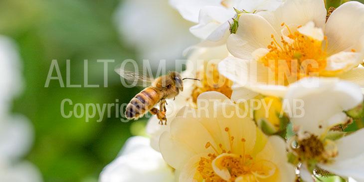 Biväxter - Ros (Rosa spp.)