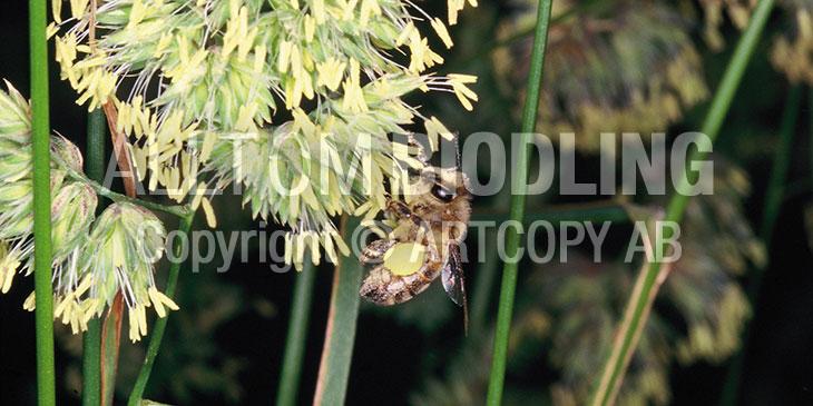 Biväxter - Hundäxing (Dactylis glomerata)