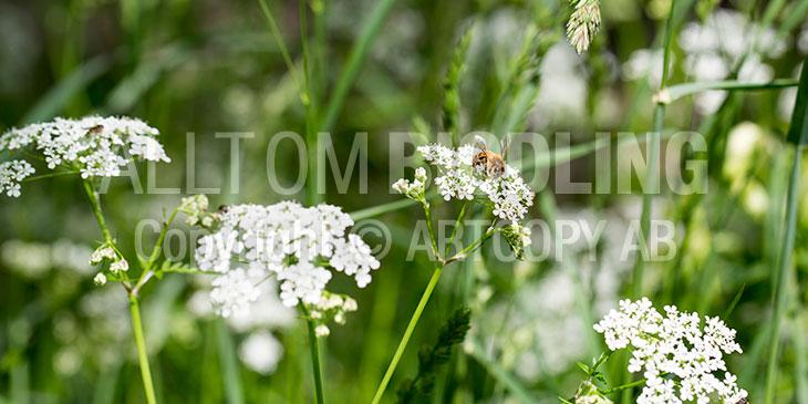Biväxter - Hundkäx (Anthriscus sylvestris)